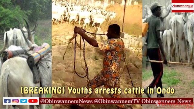 [BREAKING] Youths arrest cattle in Ondo – VIDEO