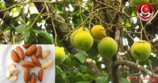 Health Benefits and Uses of Bitter Kola African wonder nut (OJI)