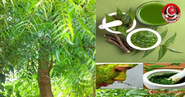 Health Benefits Of Neem (Dongoyaro) Leaf